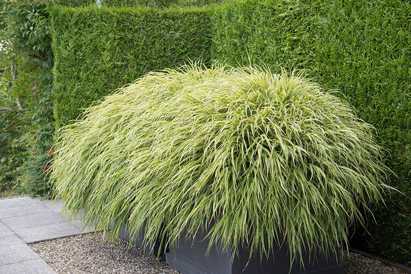 Tujahäck som bakgrund i trädgård med prydnadsgräs