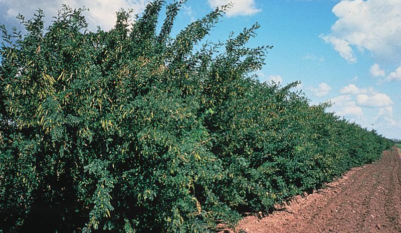 Lahäck av häckkaragan, Caragana arborescens