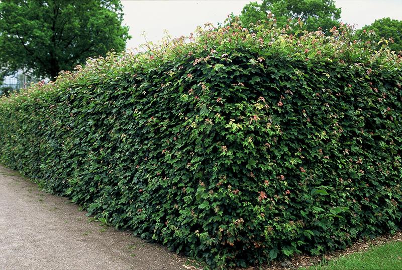 Naverlönn, Acer campestre, som häck