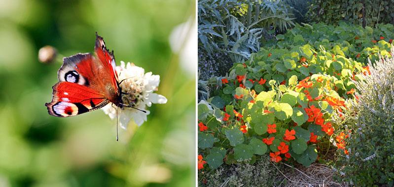 Påfågelöga fjäril i köksträdgården och marktäckande indiankrasse