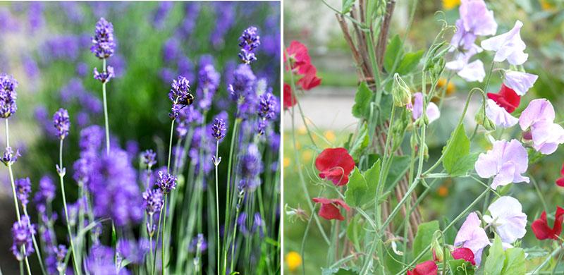 Lavendel och luktärter i köksväxtland
