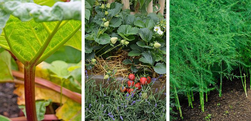 Fleråriga grönsaker rabarber och sparris med jordgubbar och lavendel i samodling
