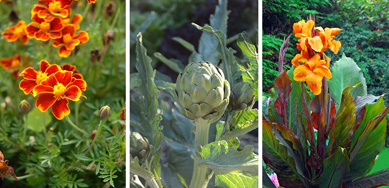 Tagetes kronärtskocka och kanna som odlas tillsammans