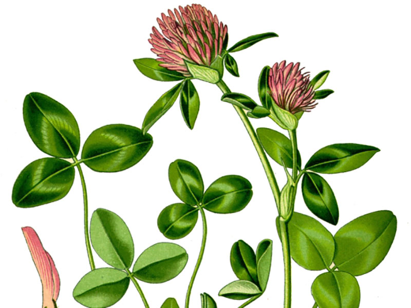 Rödklöver, Trifolium pratense