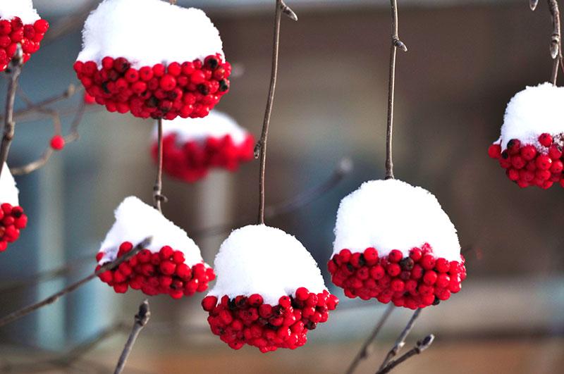 Sötrönnbär Sorbus edulis med snö