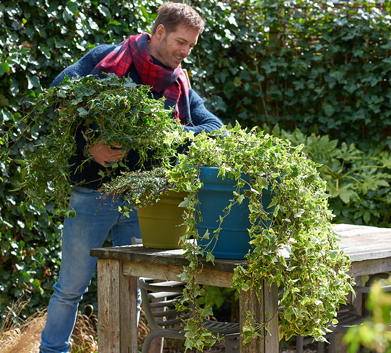 plantering av murgröna i kruka utomhus