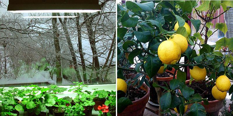 Växtbelysning till pelargoner och citronträd på vintern