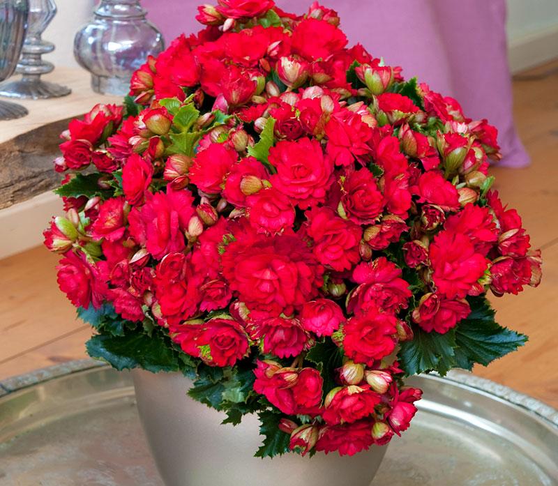 Begonia Grace