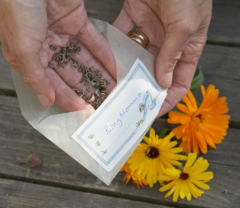 samling av egna frön av ringblomma