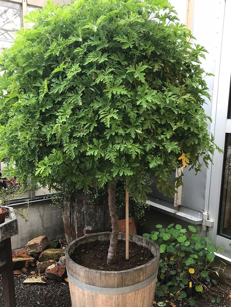 Uppstammat pelargonträd