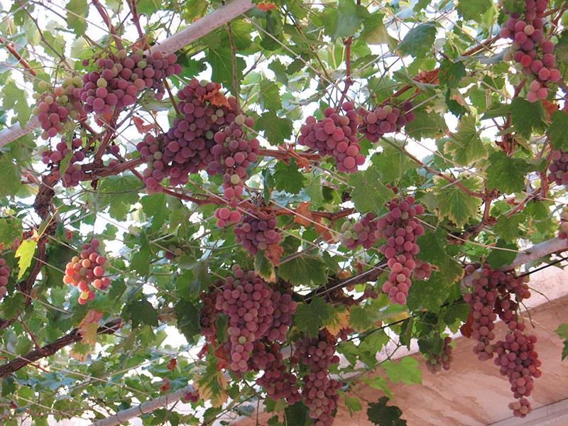 Vindruvsodling med klasar från taket
