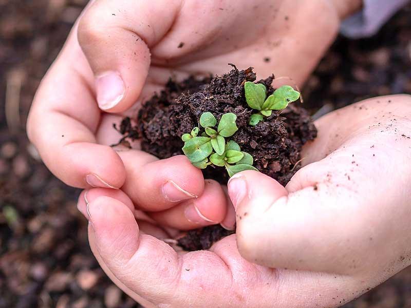 Barnhand med groddplantor