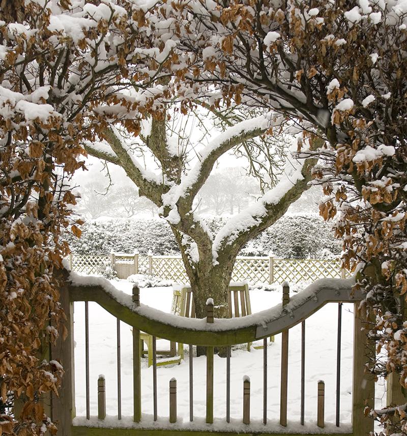 Klippt bokhäck som valv på vintern