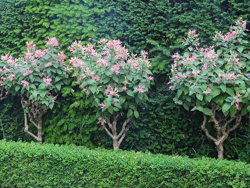 Uppstammade träd av fuchsia
