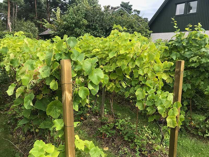 Vinodling i hemträdgård