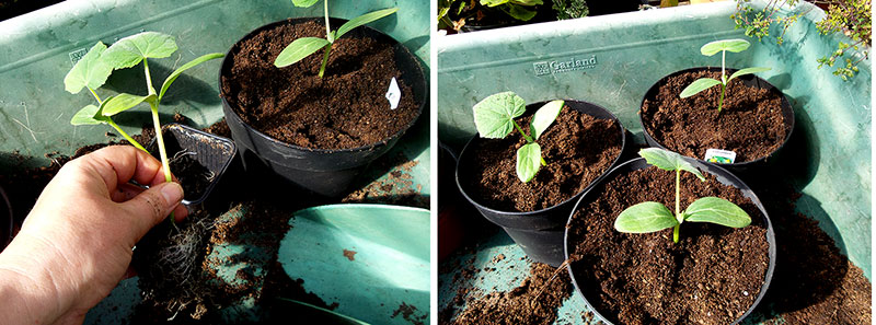 Omskolning av frösådda squashplantor