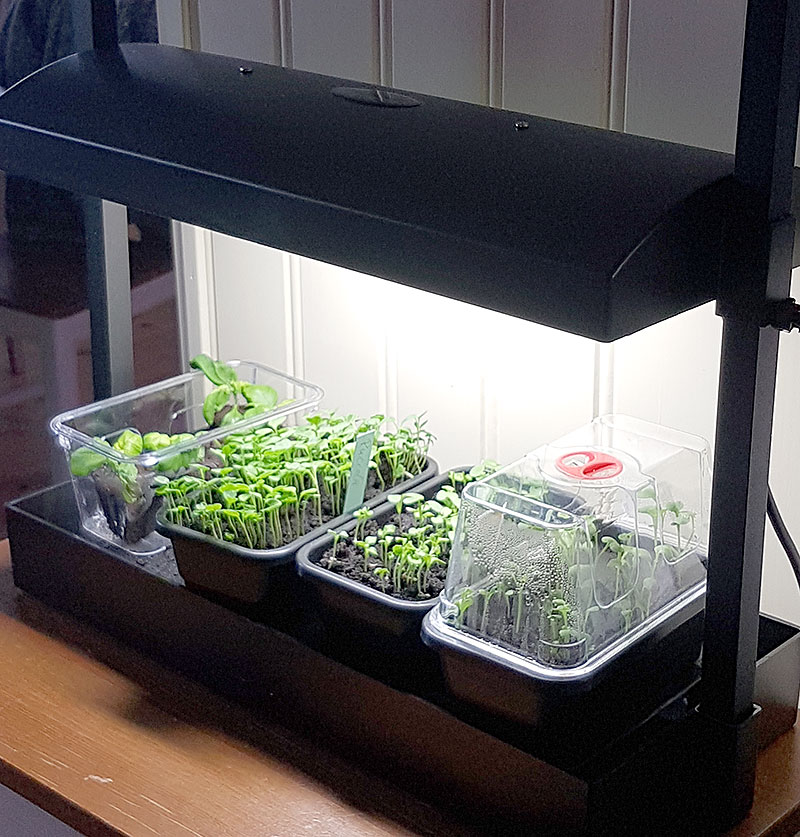 Förodling av plantor inomhus under växtlampa