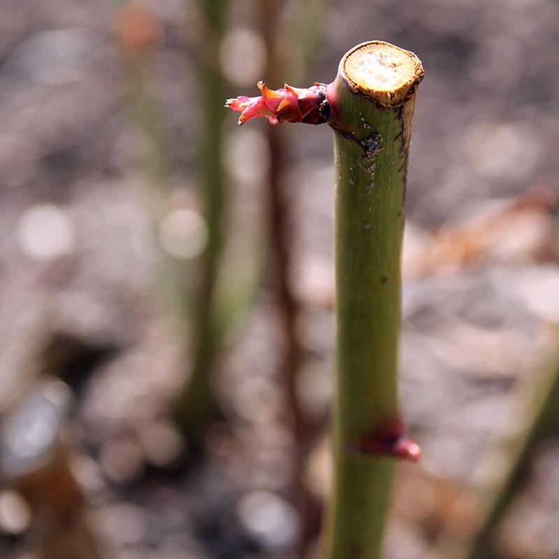 Rätt beskuren ros vid en knopp