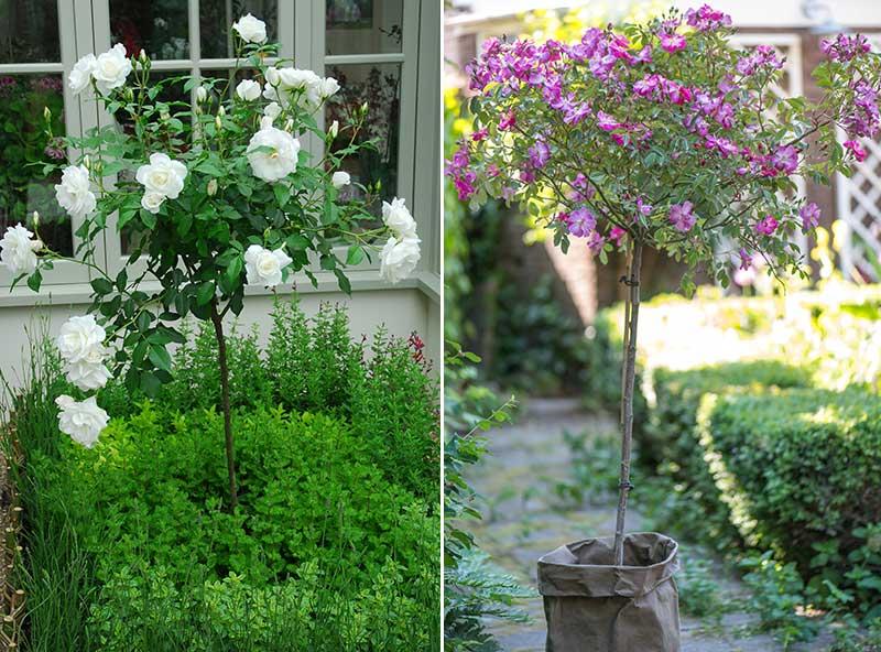 Uppstammade rosor i rabatt och kruka