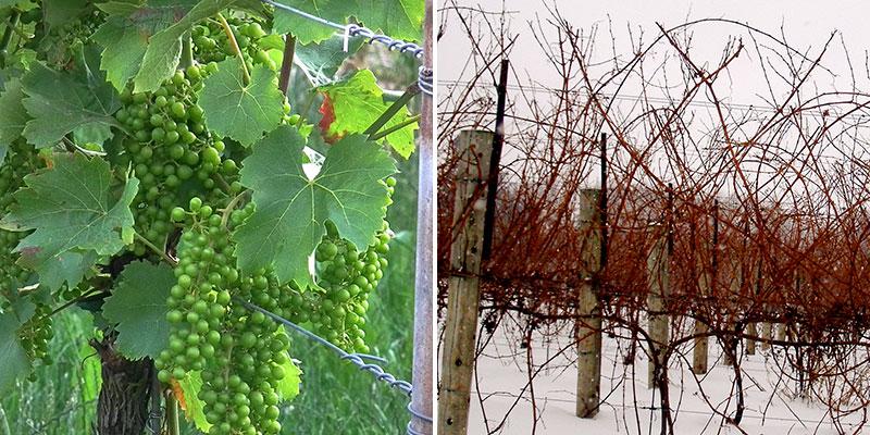 Sommar och vinter i vingården