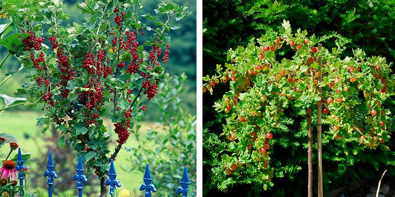 Uppstammade bärbuskar röda vinbär och krusbär