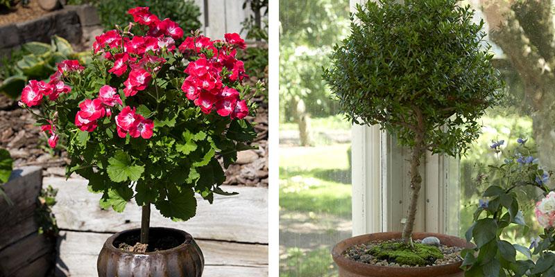 uppstammade krukväxter pelargon och myrten