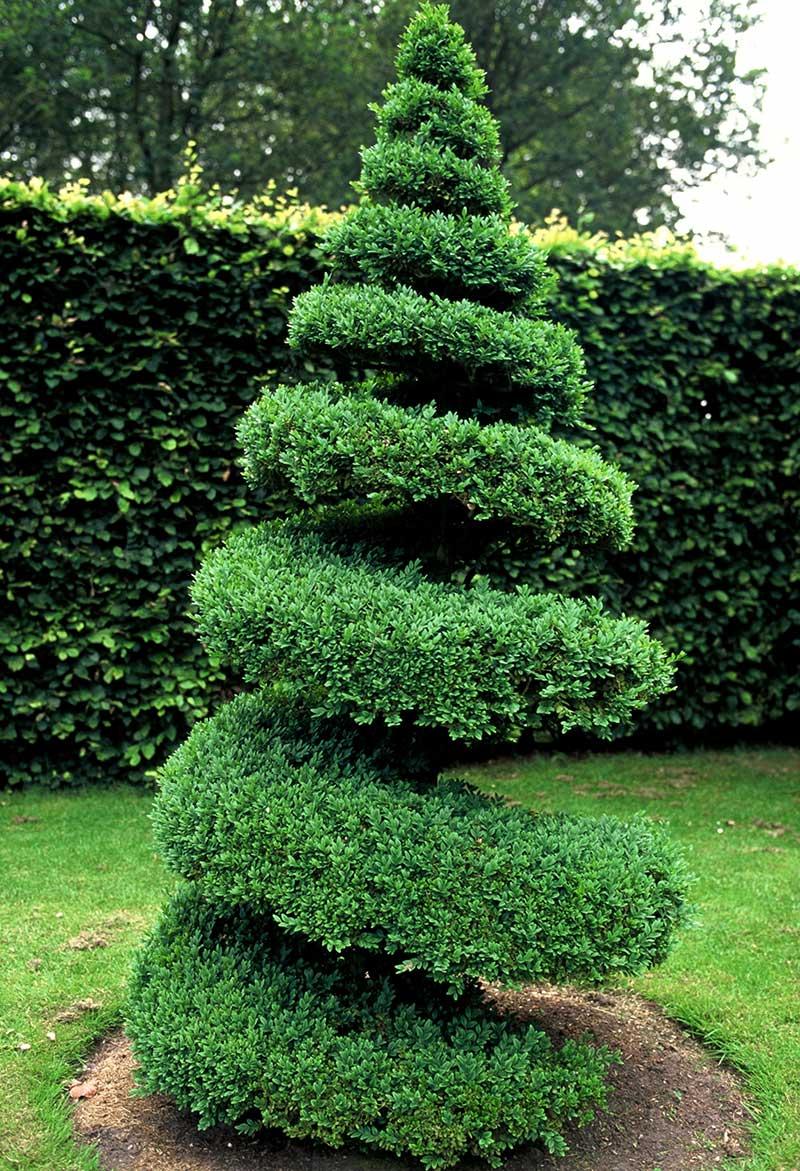 Formklippning av buxbom i spiralform