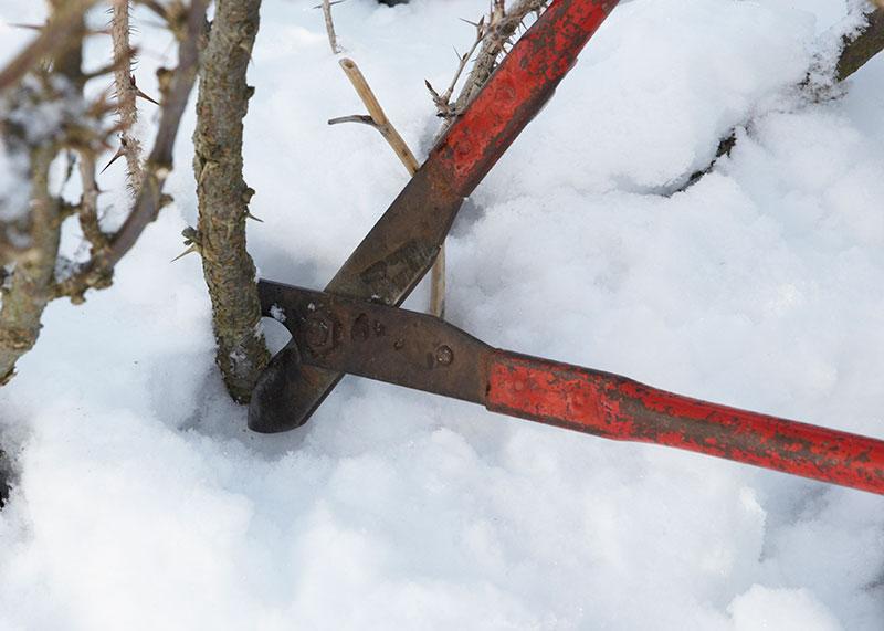 Beskärning av krusbär på vintern