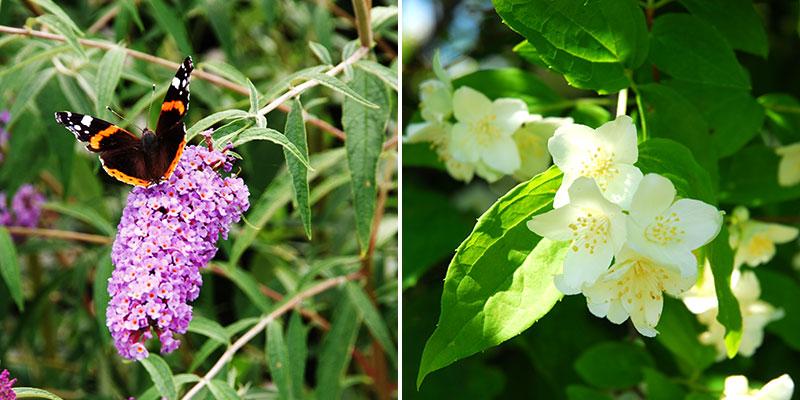 Buddleja och schersmin i trädgård