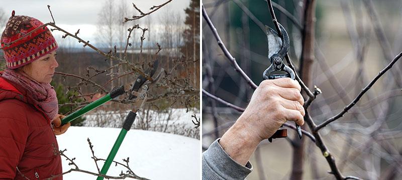 Beskärning av äppelträd på vintern