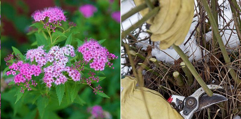 praktspiraea och gullkornell beskärs i trädgård