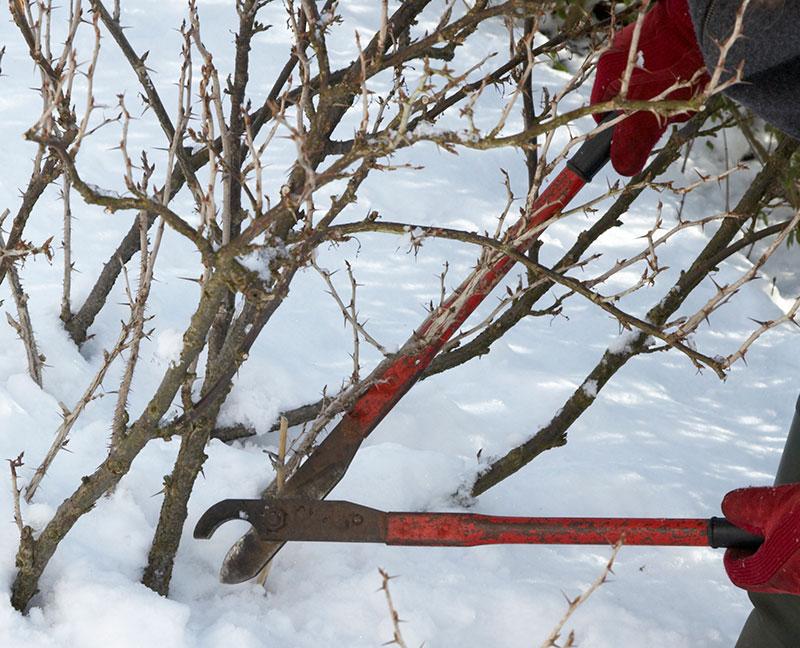 Beskärning av vinbärsbuske på vintern