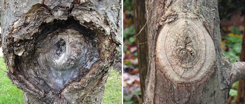 Fel och rätt beskärning av en grov gren på ett träd