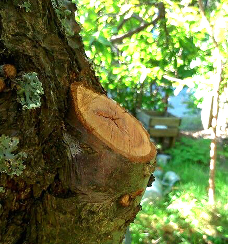 Korrekt beskuren gren på äppelträd