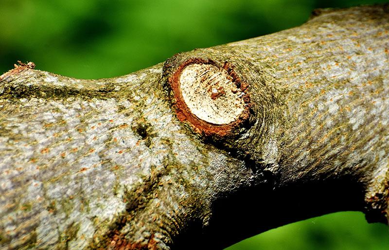 Korrekt snitt av en gren på ett träd