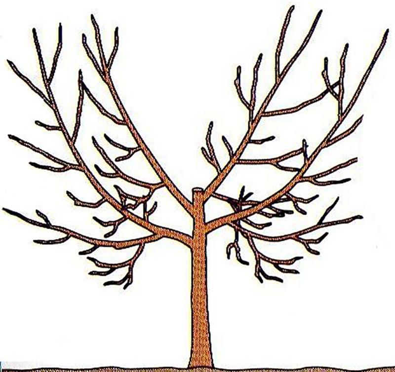 Rätt beskuret fruktträd