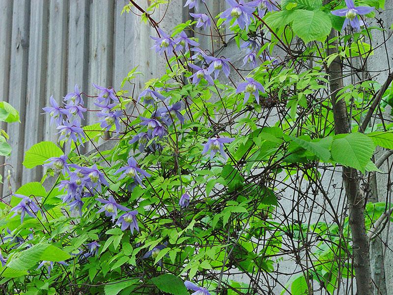 Klematis Atragene Clematis med blommor på våren