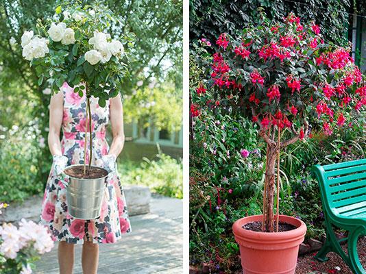uppslammad ros och fuchsia i kruka