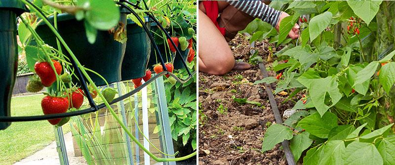 droppbevattning till jordgubbar och svettslang Irrigatia i grönsaksodling
