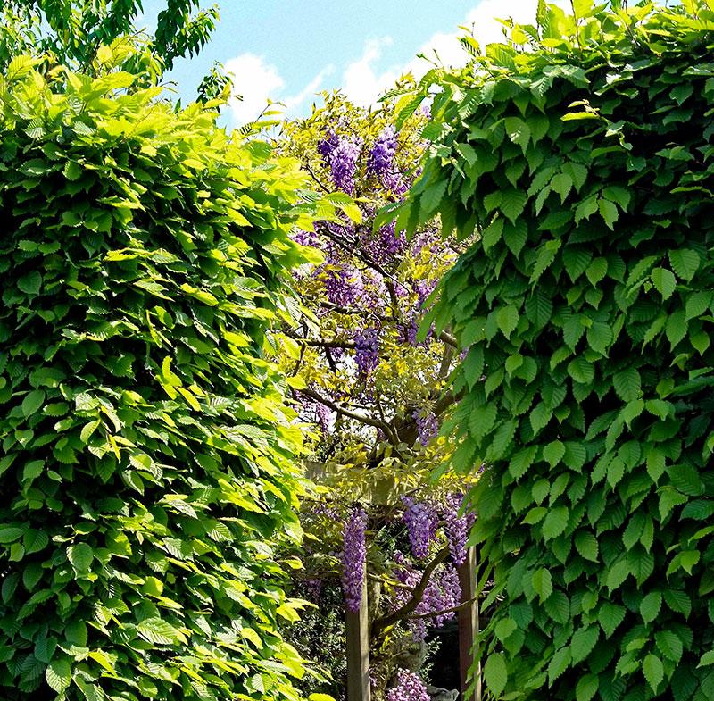 Avenbokshäck som vindskydd i trädgård med blåregn