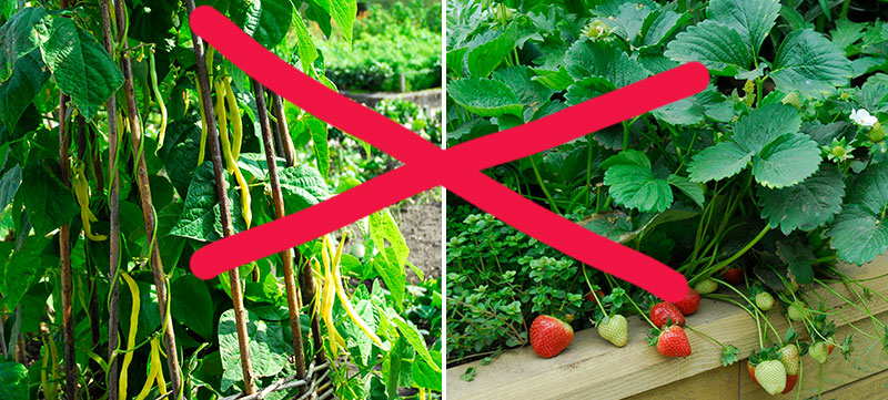 Bönor och jordgubbar som inte tål saltvatten