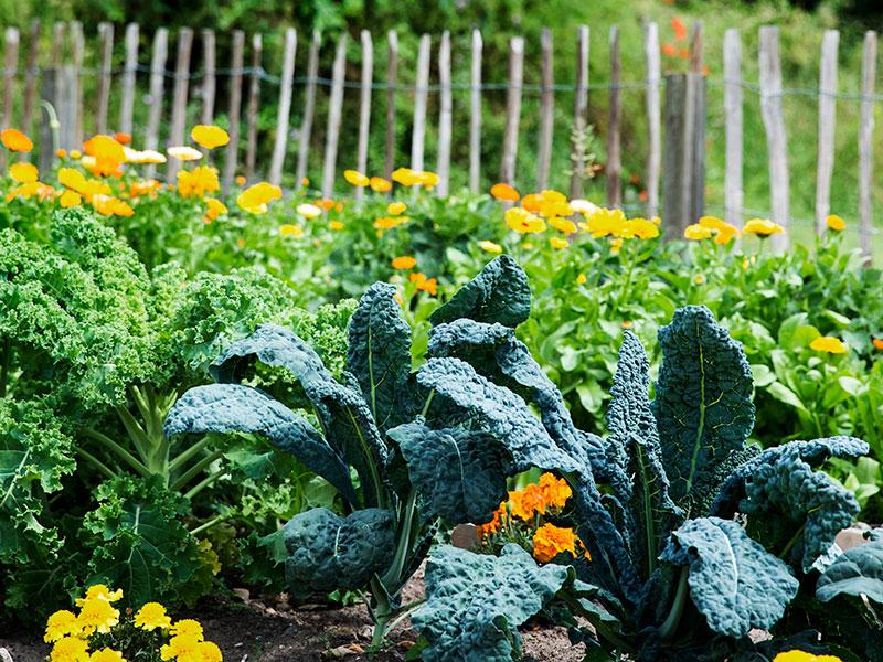 Kålväxter i köksland