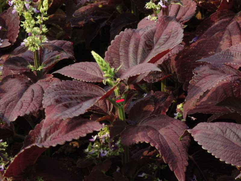 Palettblad stickling med blomknopp