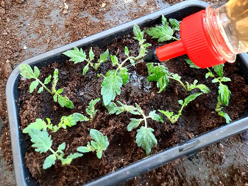 Små sticklingar av tomater