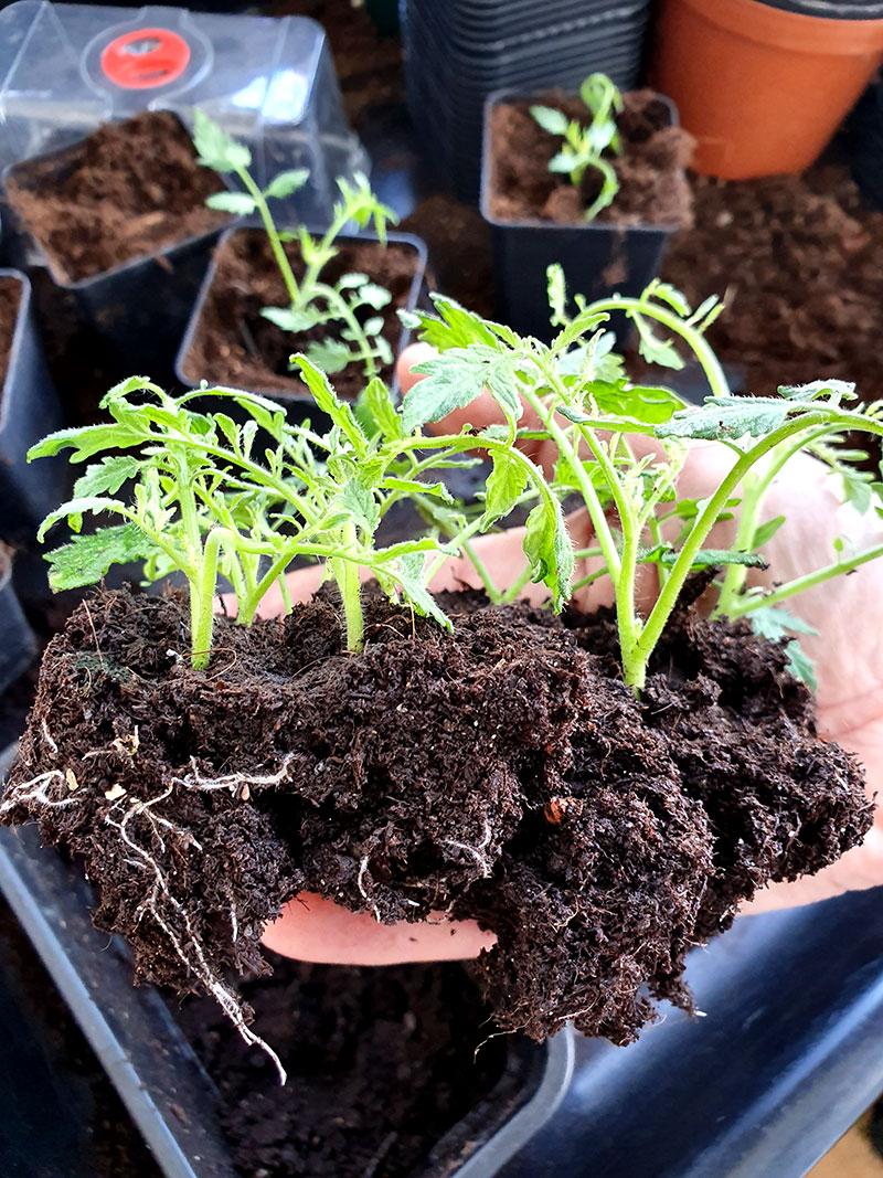 Tomatsticklingar med rötter