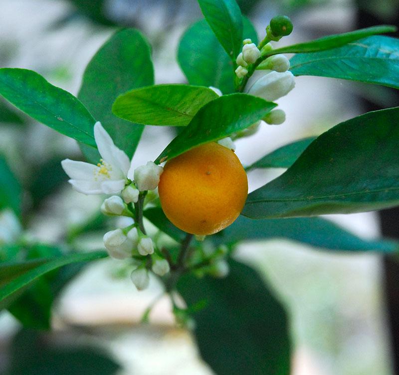 blomma och frukt av kalamondin Citrus microcarpa