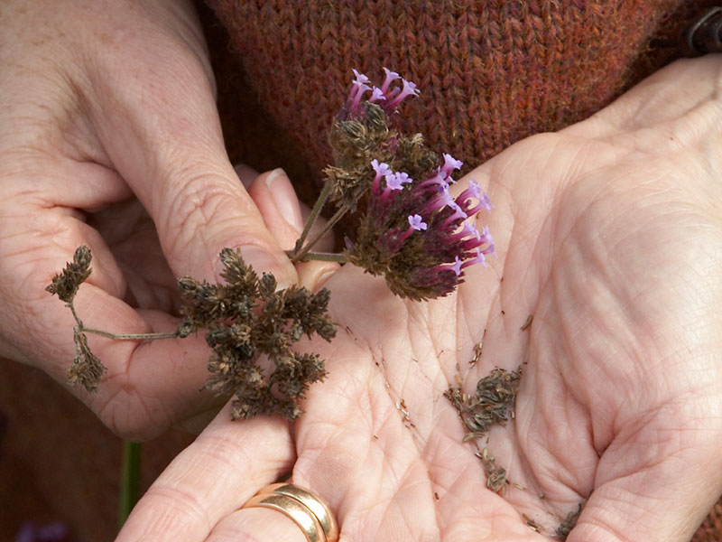 Mogna frön av jätteverbena Verbena bonariensis