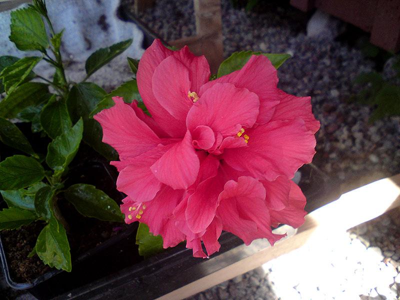Rotad sticking av hibiskus med blomma