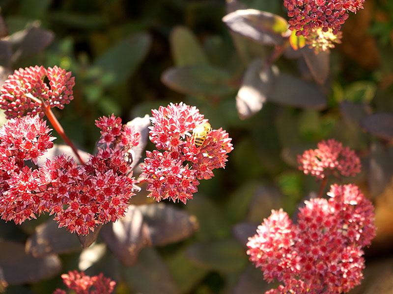 kärleksört med rosaröda blommor