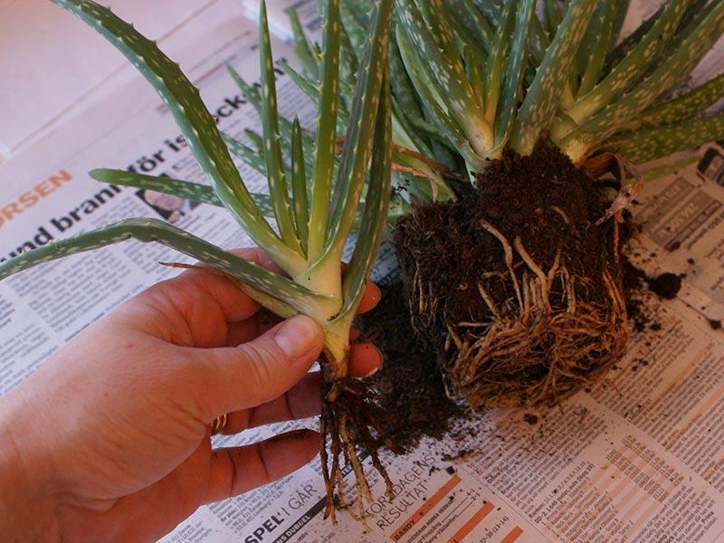 delade-bladrosetter-av-aloeplanta.jpg